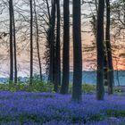 Hasenglöckchenwald zur Morgendämmerung