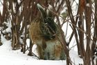 Hasenmann im Schnee, bei der Körperpflege
