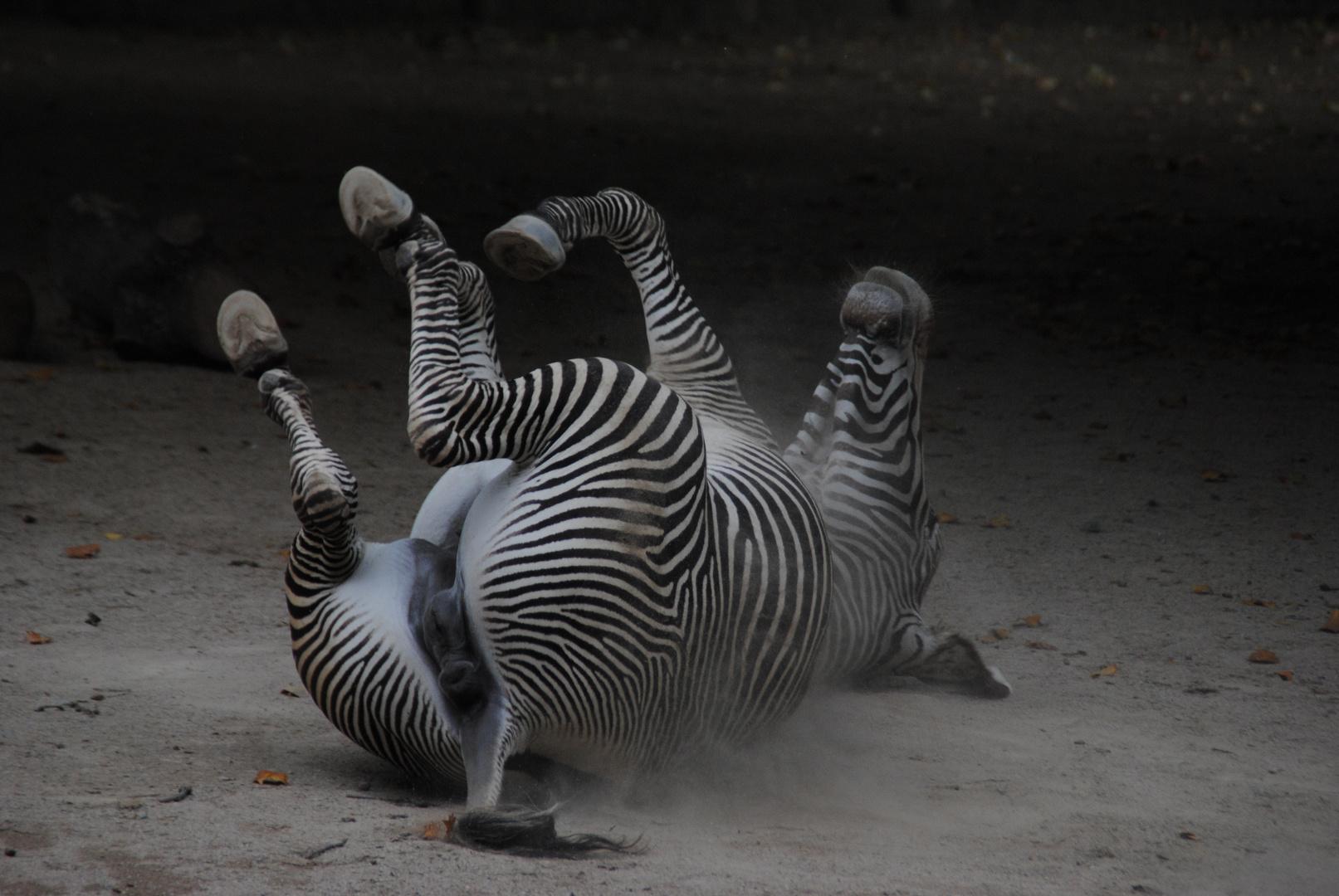Haste' deine 5 Minuten? - Zebra im Zoo.