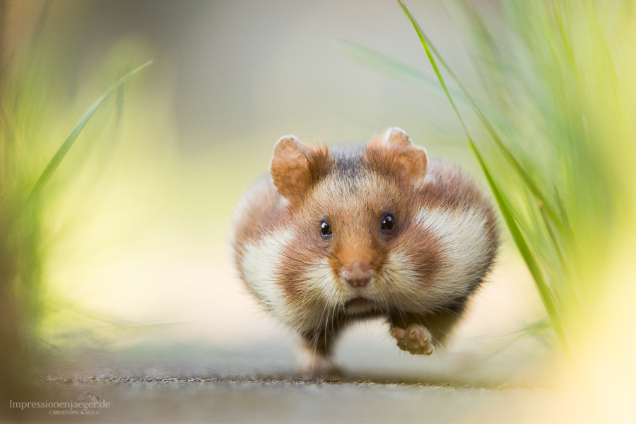 Hastiger Hamster