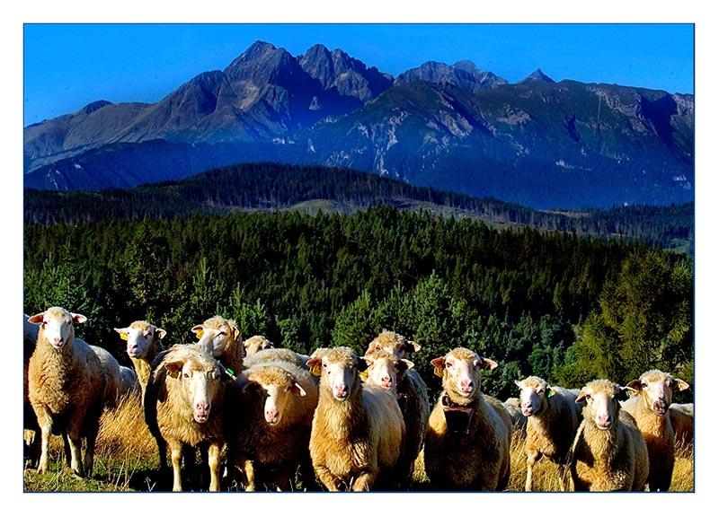 Hat der noch nie Schafe gesehen ???