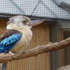 Haubenliest in prager Zoo