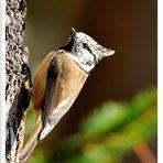 - Haubenmeise - ( Parus cristatus )