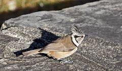 Haubenmeise (Parus cristatus) - Mésange huppée.