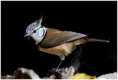 - Haubenmeise - ( Parus critatus )