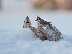 Haubenmeisen im Schnee