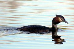Haubentaucher auf dem See