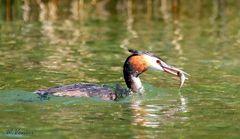 Haubentaucher beim Fischfang