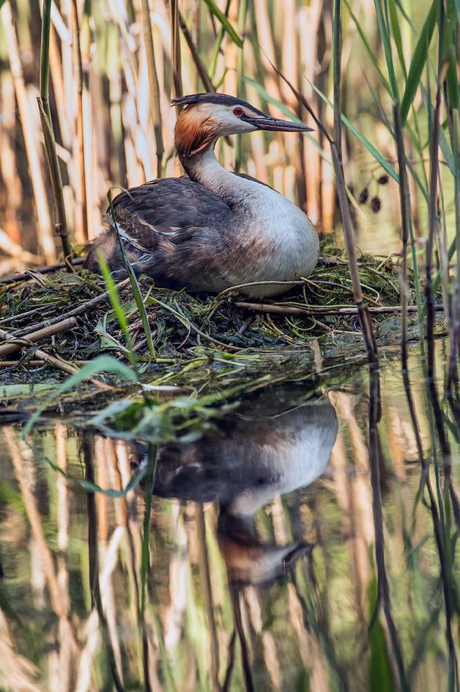 Haubentaucher im Nest ...