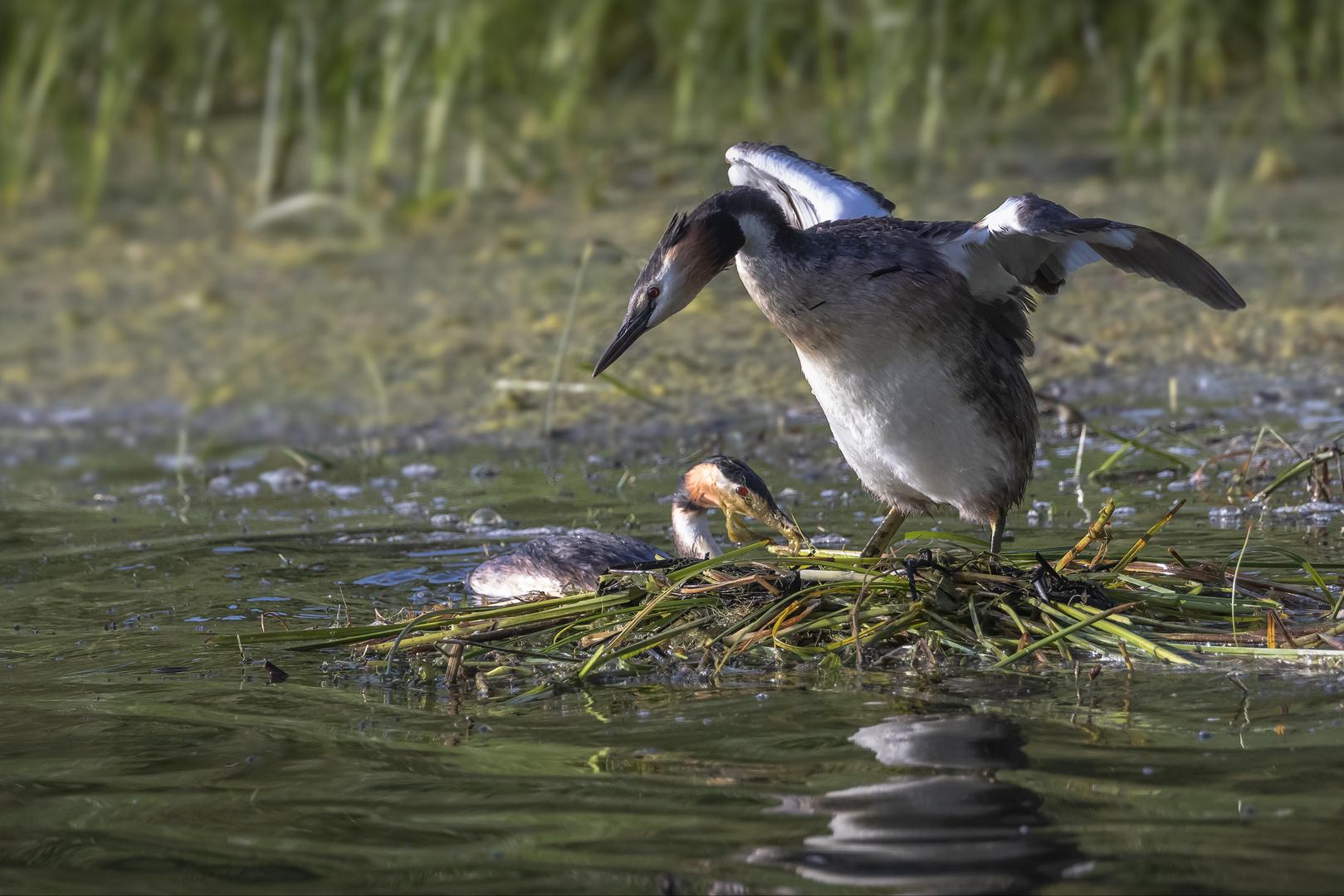 Haubentaucher im Nest