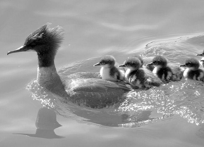 Haubentaucher-Mama mit Nachwuchs