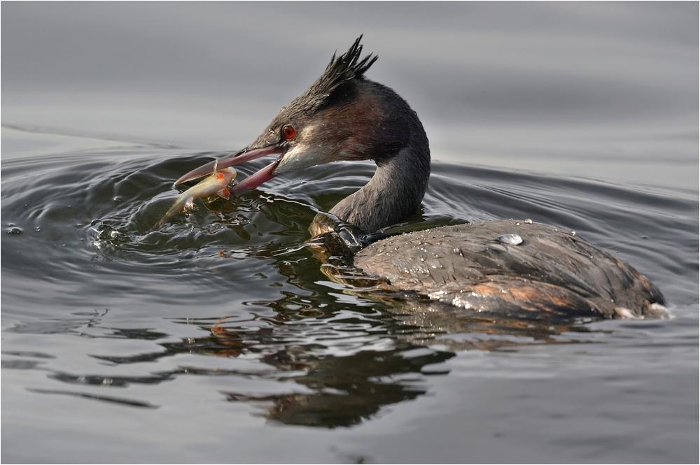 Haubentaucher mit Fisch