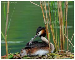 ---- Haubentaucher wird mit Federn gefüttert ----- (Podiceps cristatus )