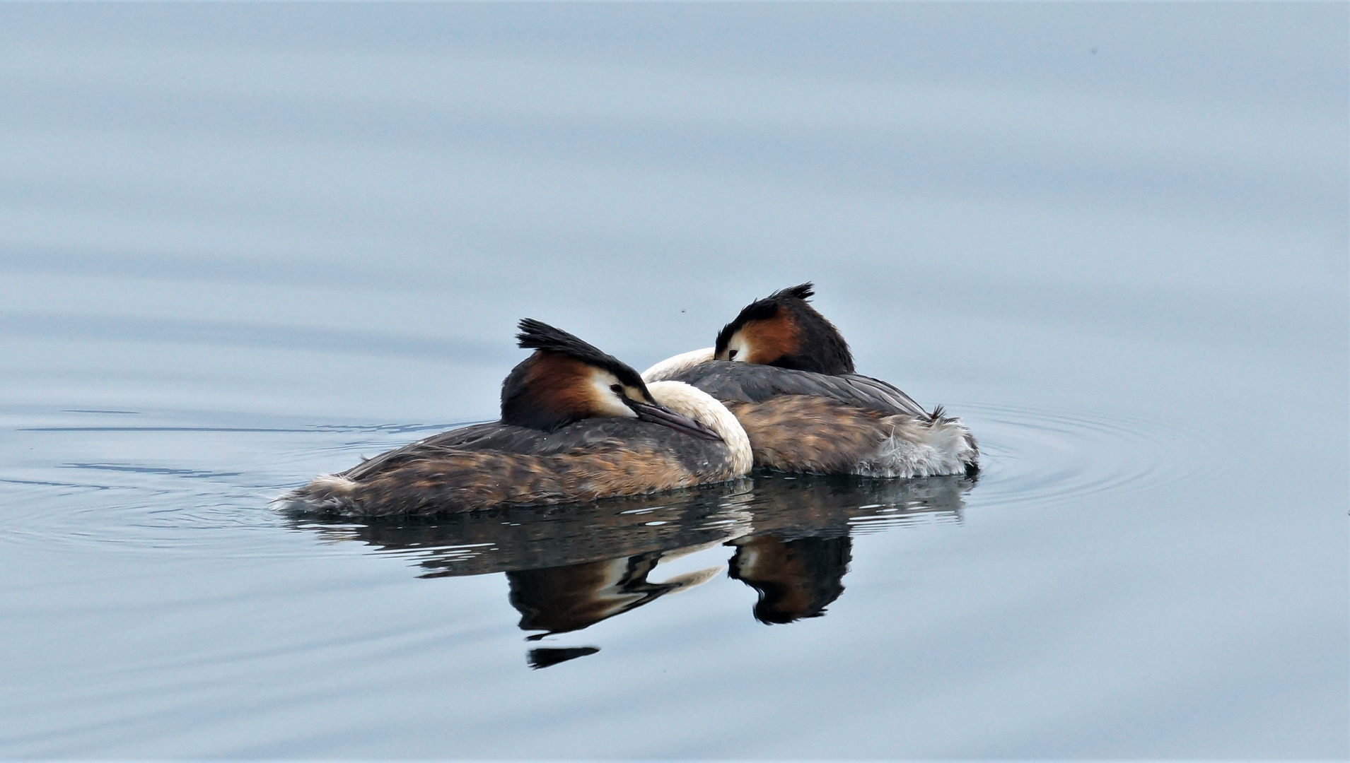 Haubentaucherpaar bei Sipplingen am Bodensee