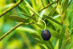 Haugemer Olive
