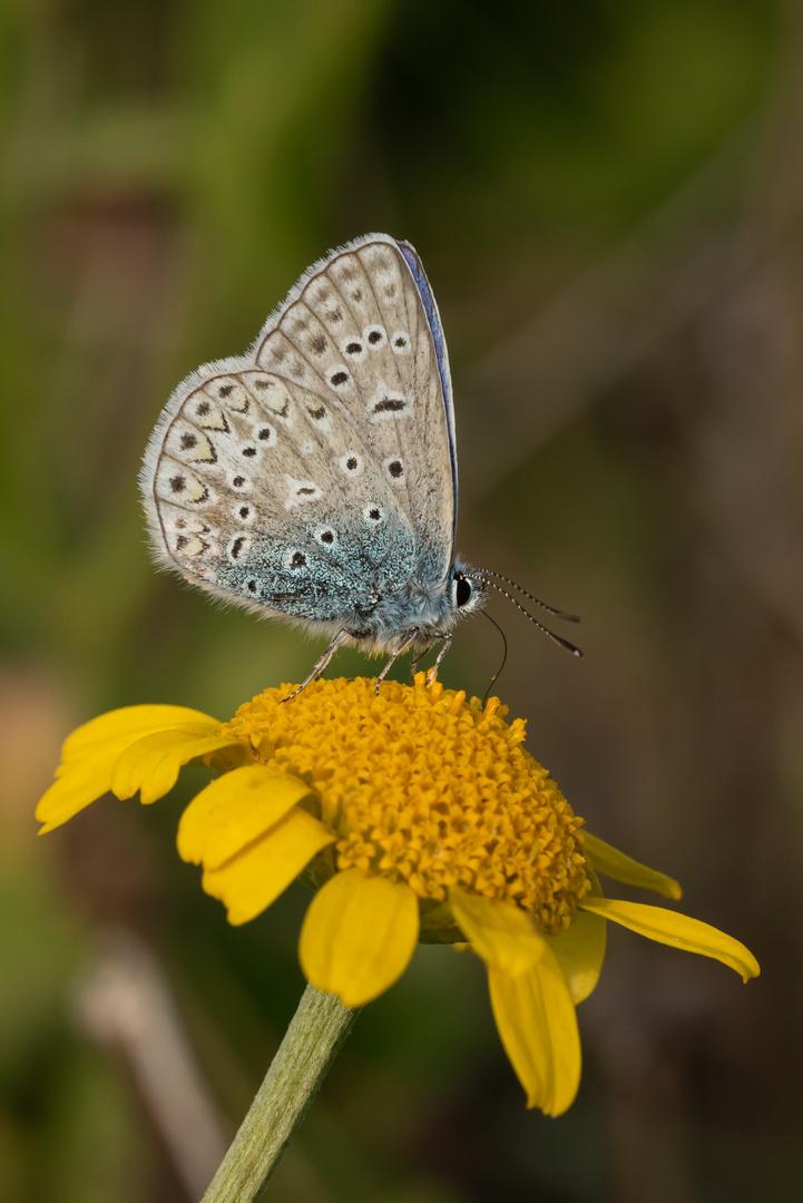 Hauhechel-Bläuling auf einer Blume
