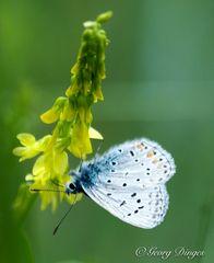 Hauhechel-Bläuling männlich an gelber Blüte