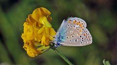 Hauhechel Bläuling - Polyommatus icarus ...