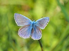 Hauhechel-Bläuling (Polyommatus icarus)  - Argus bleu.