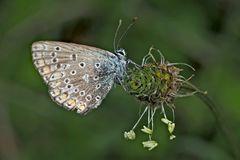 Hauhechel-Bläuling (Polyommatus icarus) - L'Argus bleu.