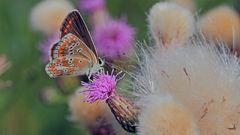 Hauhechel-Bläuling Weibchen mit dem Beweis der aufgeklappten Flügel...