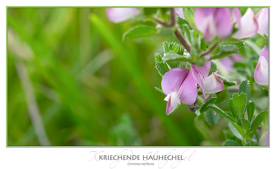 Hauhechel