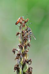 Hauhechel-Glasflügler (Bembecia albanensis)