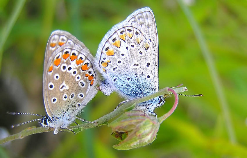 Hauhechelbläulinge [Polyommatus icarus] bei der Paarung