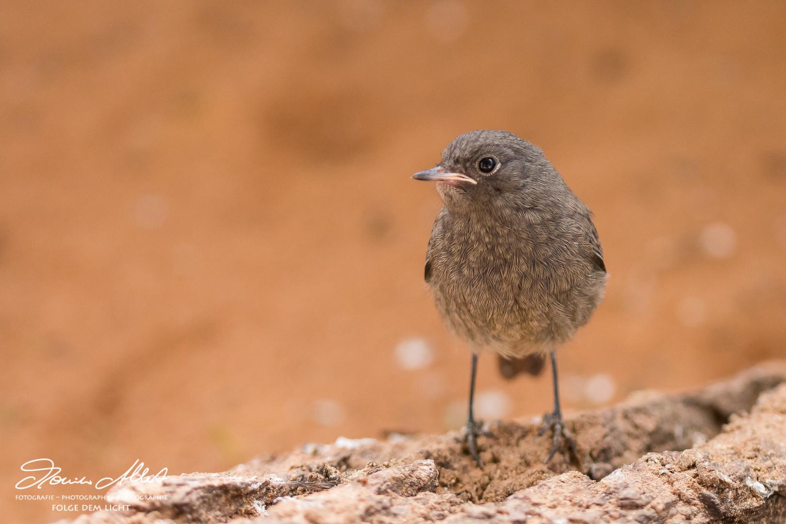 Hausrotschwanz Jungvogel