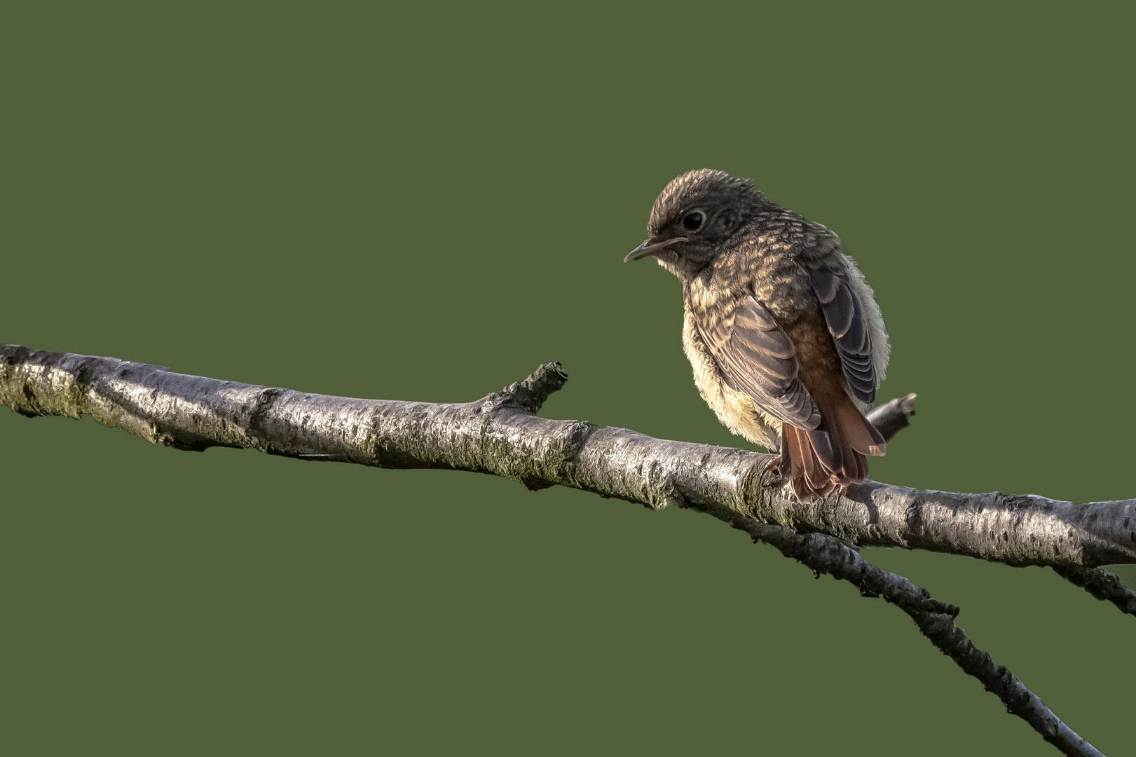 Hausrotschwanz-Jungvogel