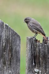 Hausrotschwanz (Phoenicurus ochruros); Weibchen, Jungvogel