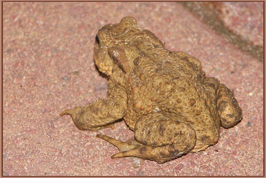 Hauswächterkröte