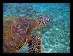Hawaiian Green Sea Turtle # 1