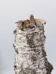Hawk owl (Sperbereule)