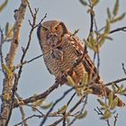 Hawk owl with prey