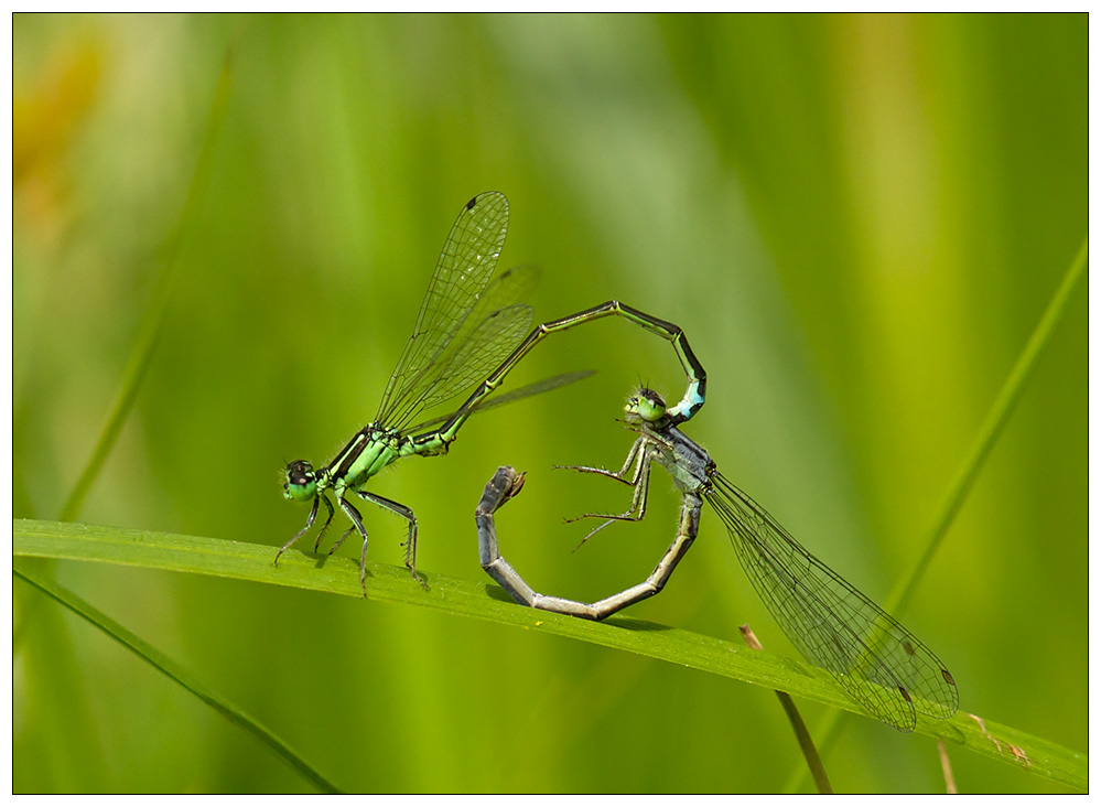 Heart of dragonflies...