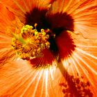 Heart of the Hibiscus