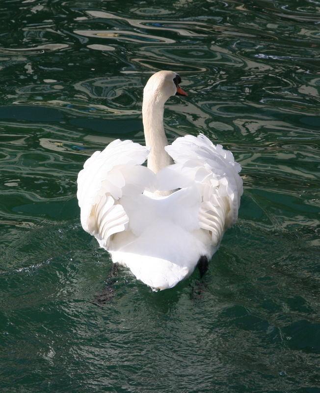 heart shaped swan in luzern