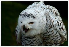 Hedwig, ...