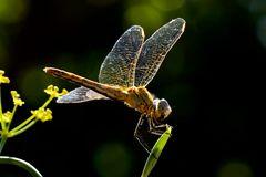 Heide Libelle im Licht