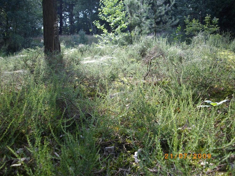 Heide mit Spinweben