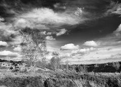 Heide und Birken