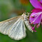 Heidelbeer-Steinspanner (Gnophos obfuscata). - La Gnophos trompée.