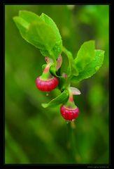 Heidelbeerblüte im Moor