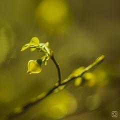 Heidelbeere - 2 von 3