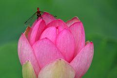 Heidelibelle an Lotus