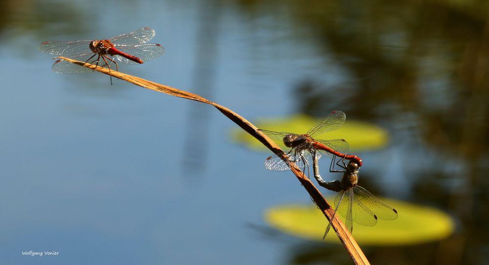 Heidelibelle bei der Paarung