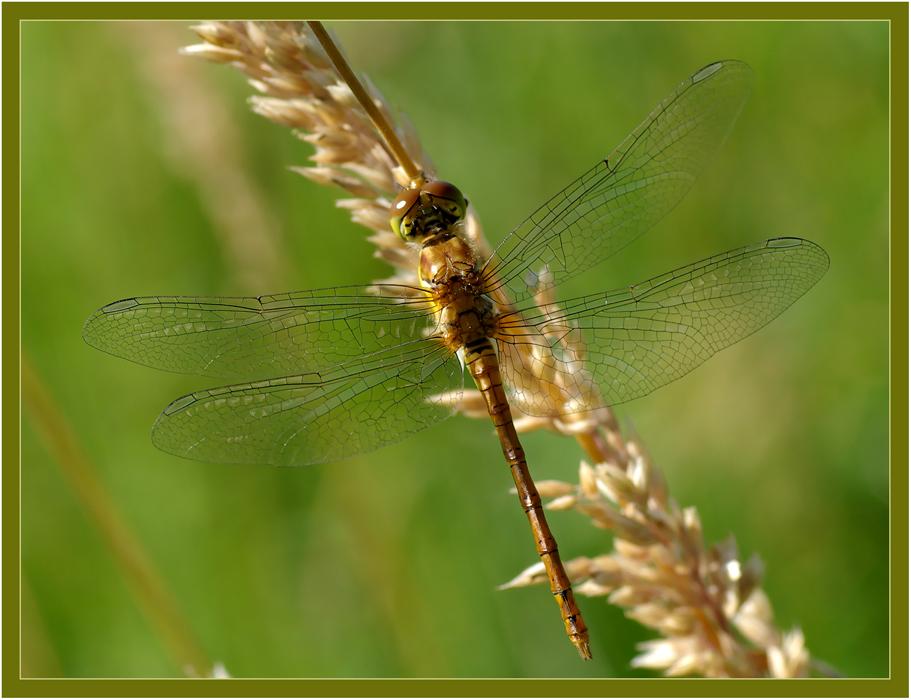 Heidelibelle (Weibchen)