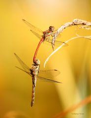 Heidelibellen bei der Paarung