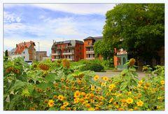 Heilbronn Süd, mitten in der Stadt Sonnenblumen